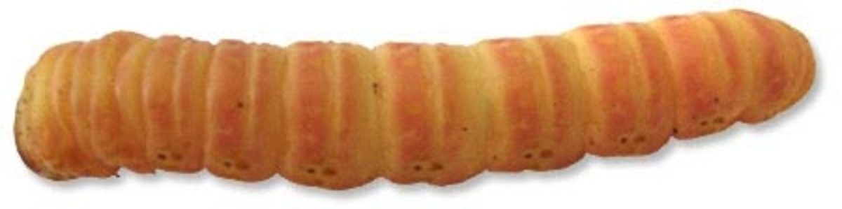 Breeding and Raising Butter Worms