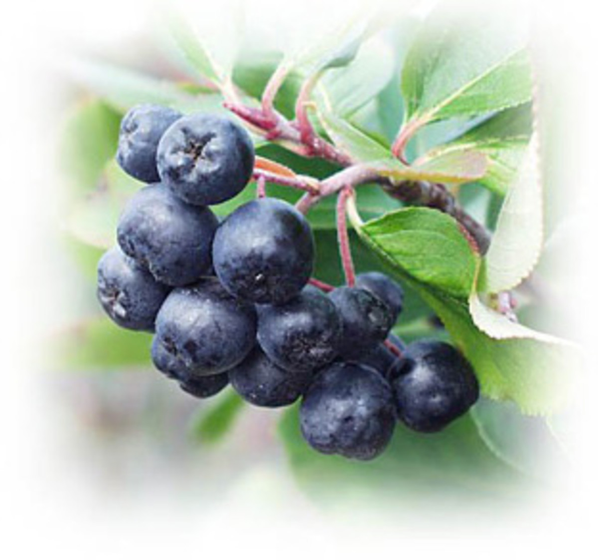 Aronia - highest-antioxidant berry juice
