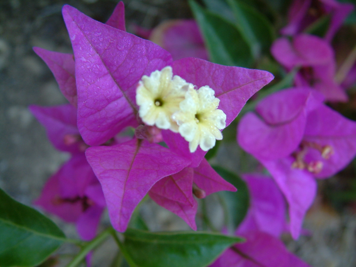 All about Bougainvillea