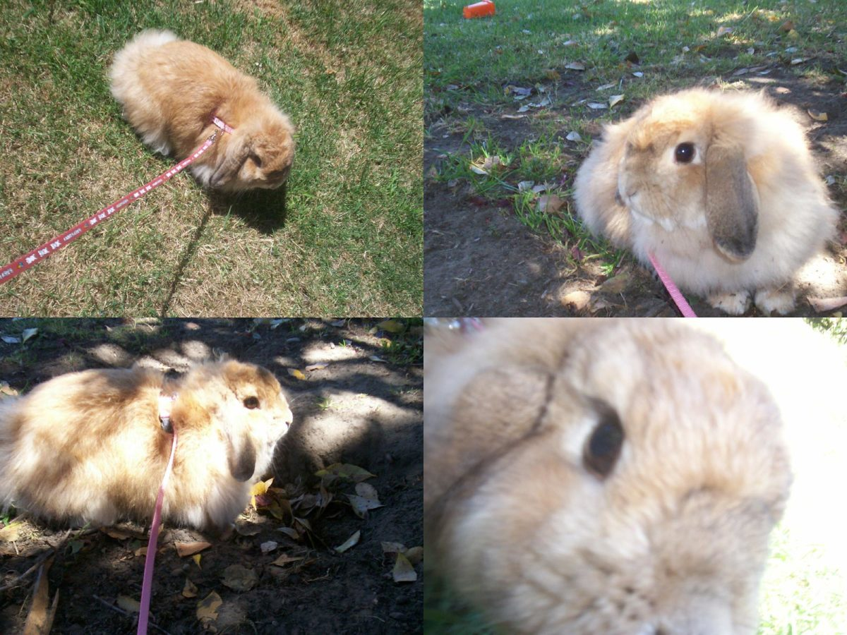 How To Train Your Bunny To Walk On A Leash