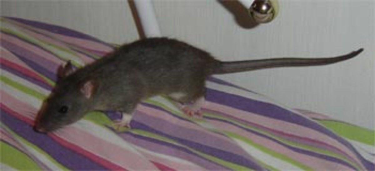 Homemade Treats and Food for your Rat | HubPages