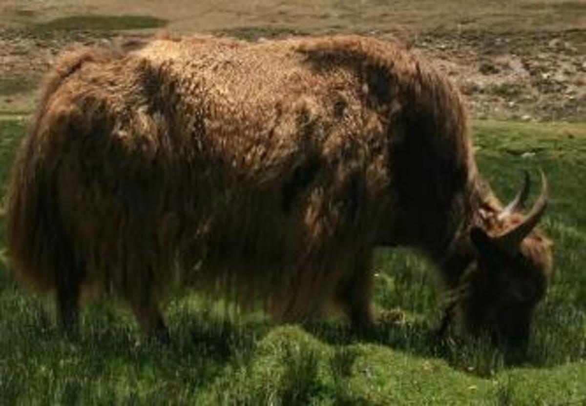 A grazing Yak.