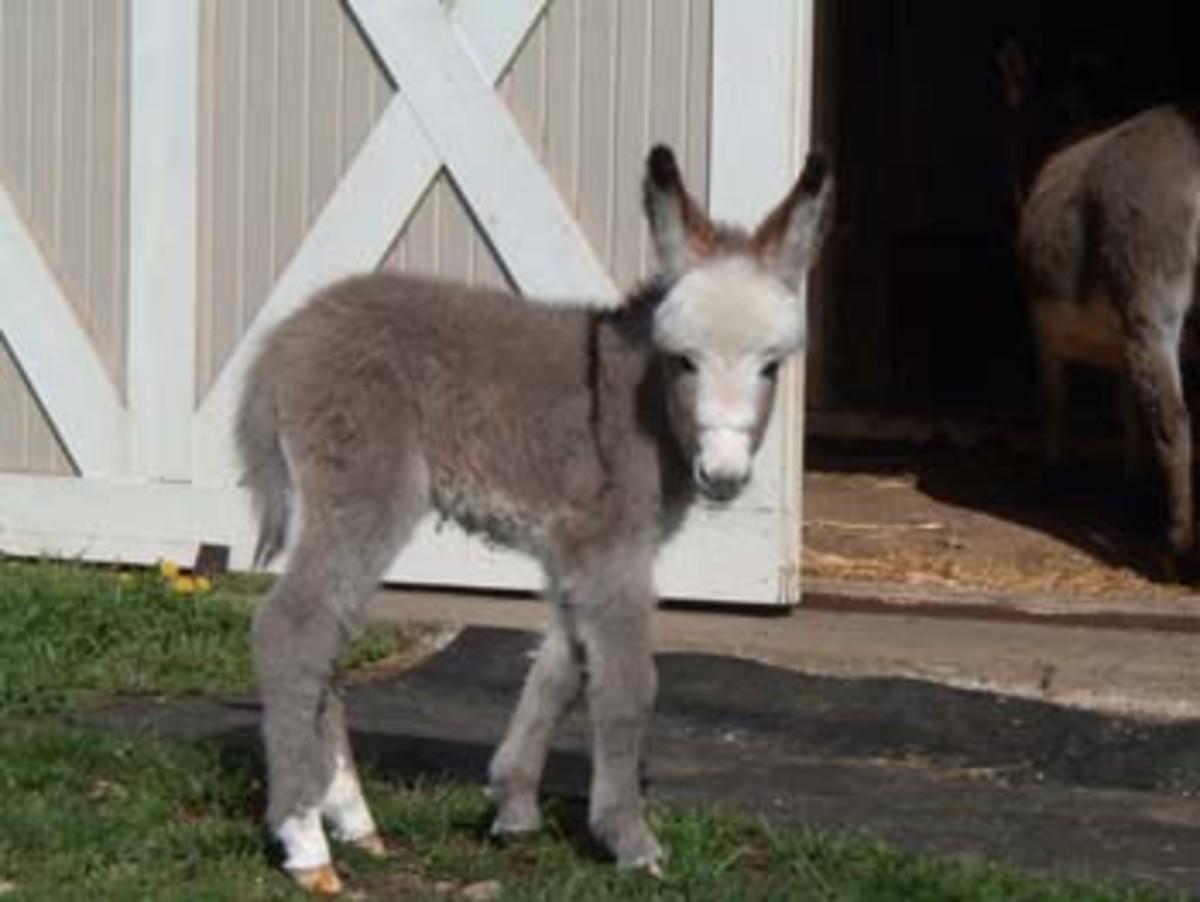 miniature-mediterranean-donkeys