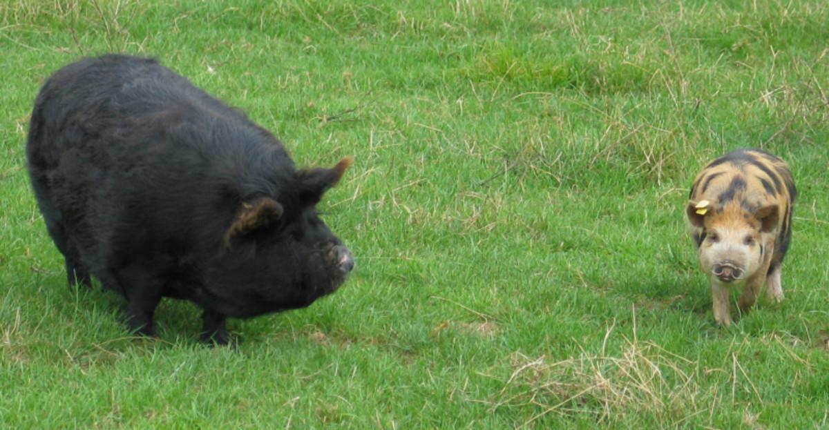 Kunekune pigs - Solid black and multicolored offspring
