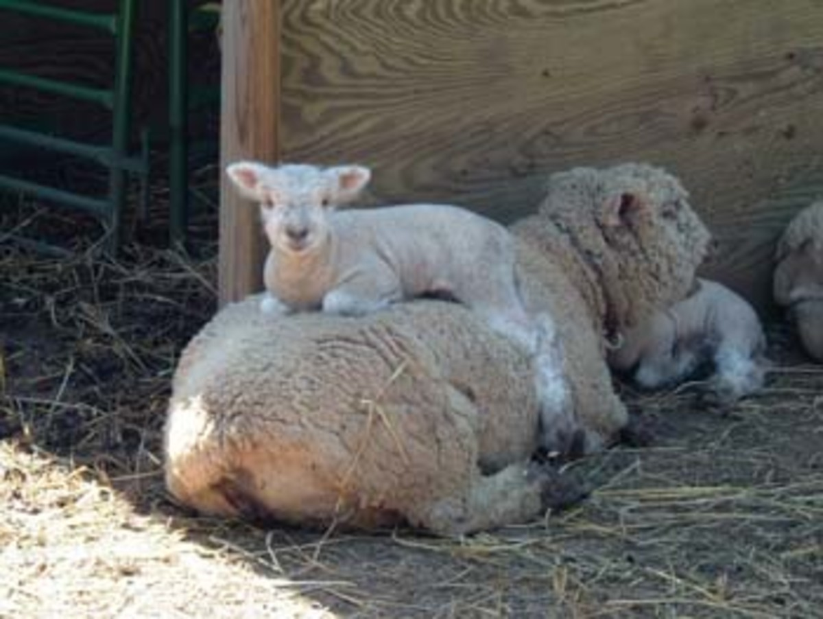 Babydoll lamb with mother - Courtasey of Easy Acres Farm.