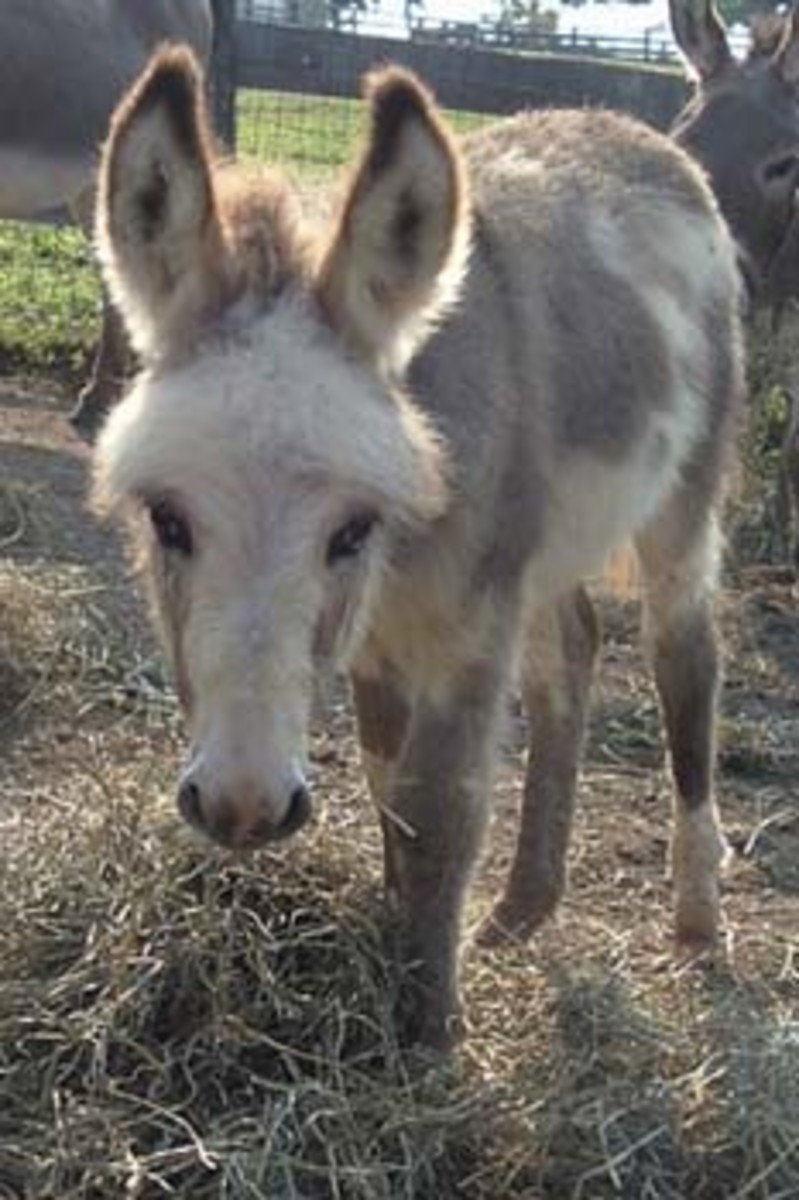 Miniature Donkey Baby - Courtasey of Easy Acres Farm.