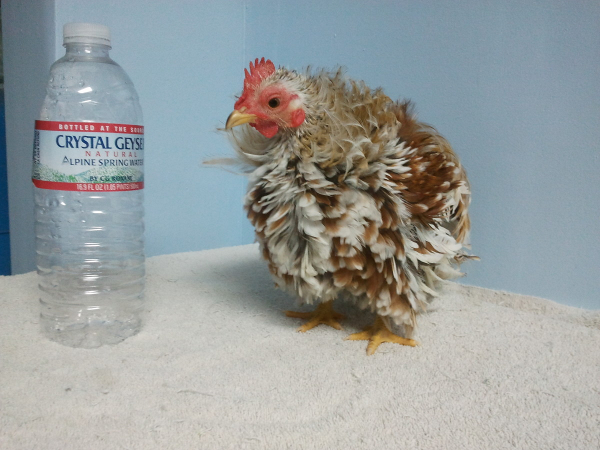 Popcorn the frizzle Serama - fully grown at 15oz.