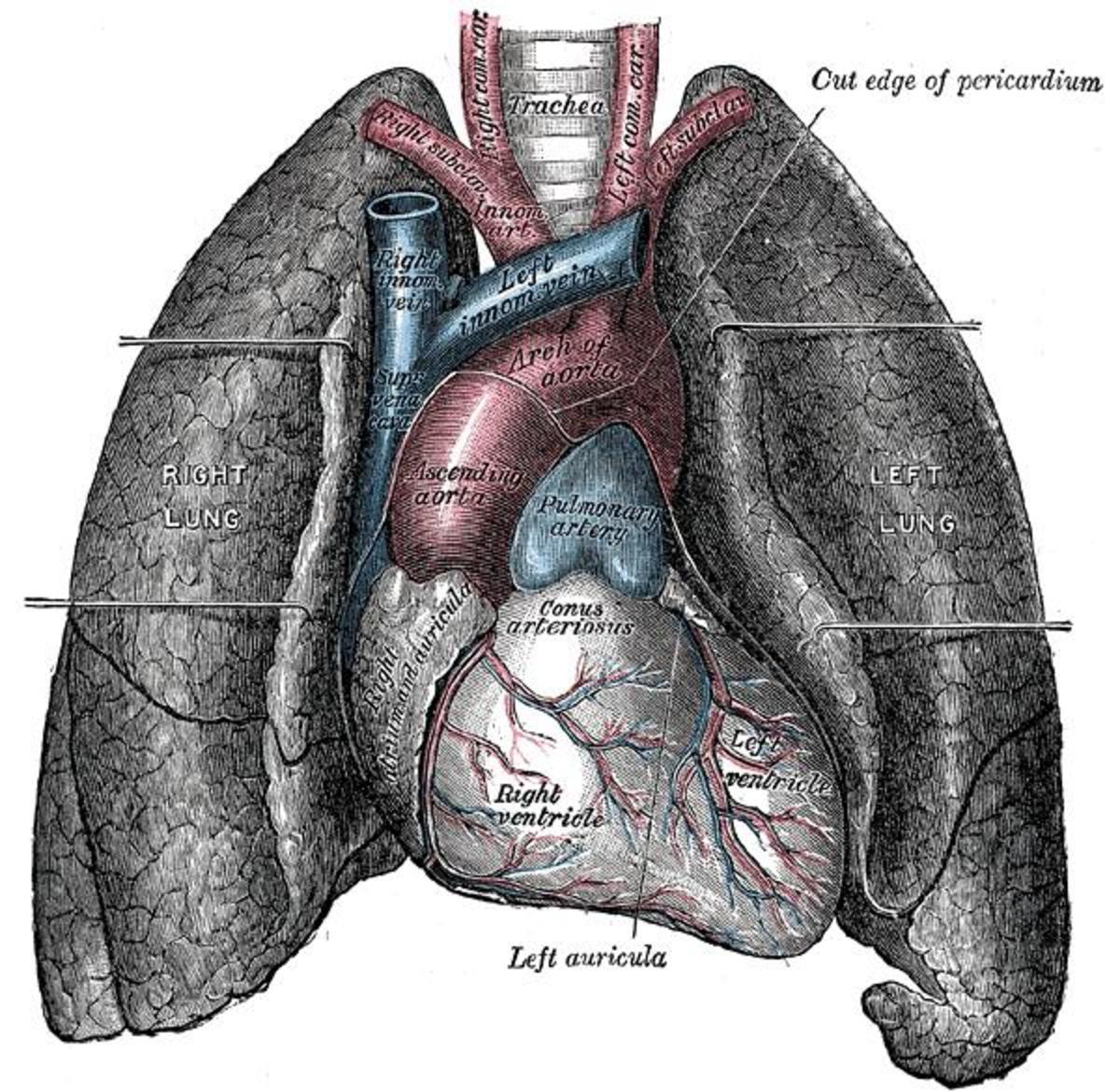 cellular-memories-in-organ-transplant-recipients
