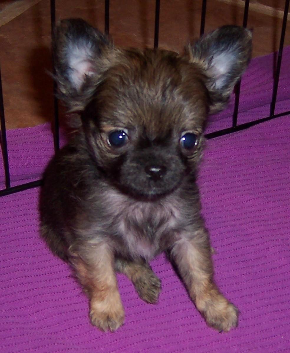 Raising Chihuahuas
