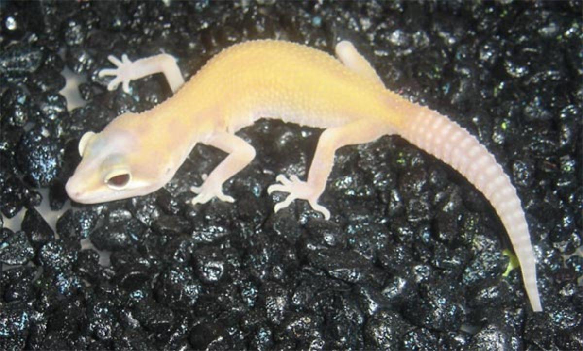 leopard-gecko-morphs