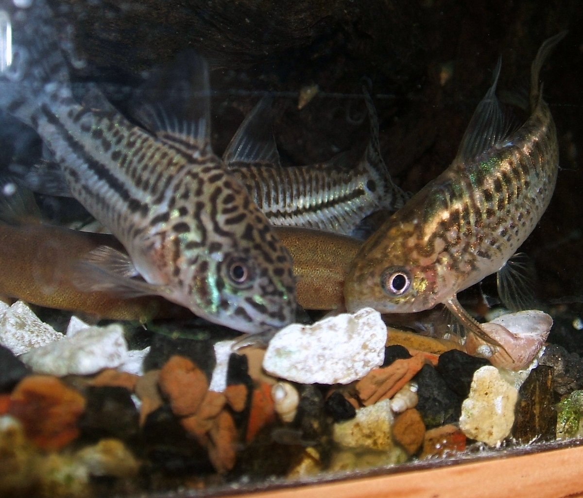 Corydoras trilineatus (left) and Cw008 (right). Copyright I. Ramjohn