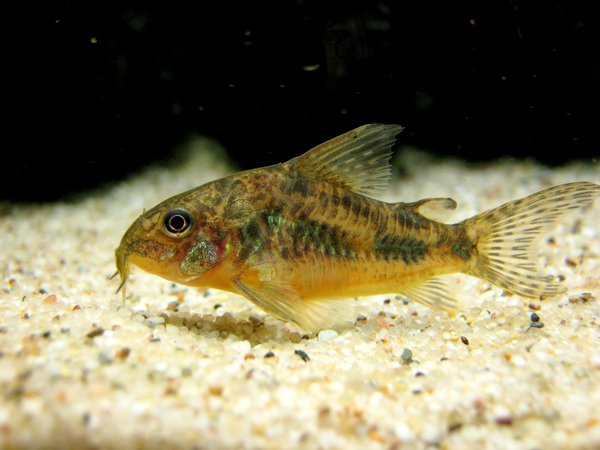 Corydoras paleatus, the peppered cory. Copyright Christian Ude, licensed under the Creative Commons Attribution-Share Alike 3.0 Unported license.