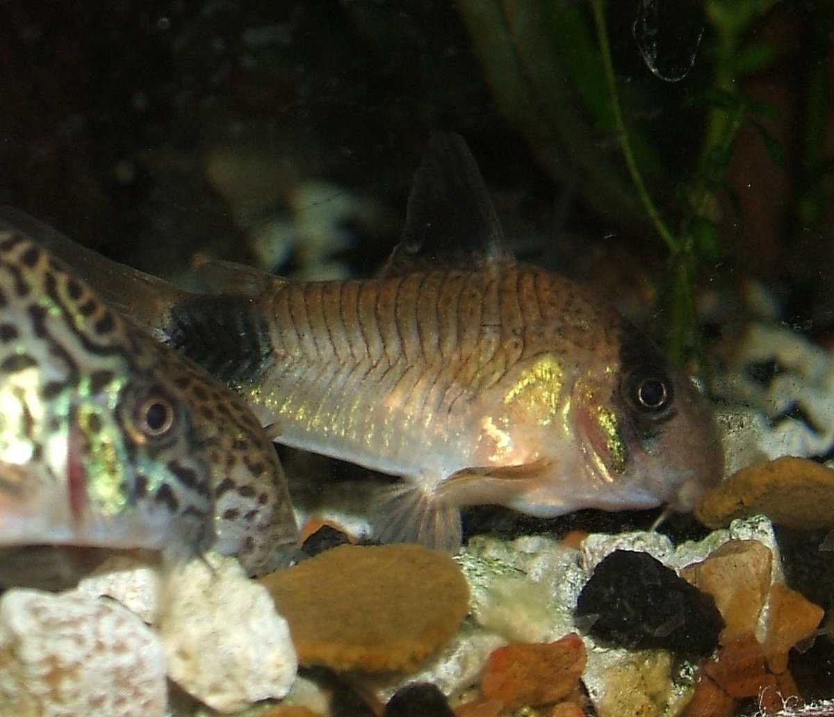 Corydoras panda (centre) with Corydoras trilineatus (left). Copyright I. Ramjohn