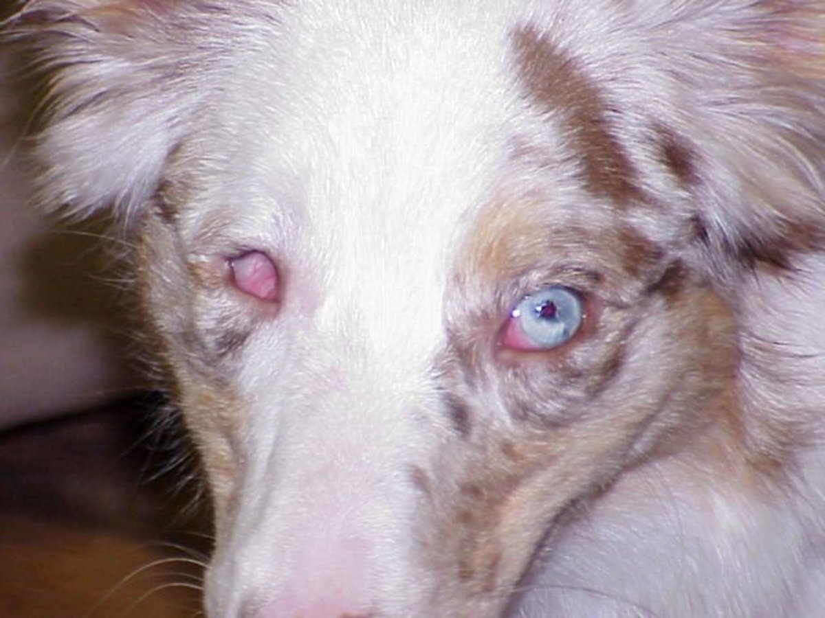 An Australian Shepherd with Persistent Pupillary Membrane, a possible side effect of poor breeding.  (Photo: ASHGI.org)