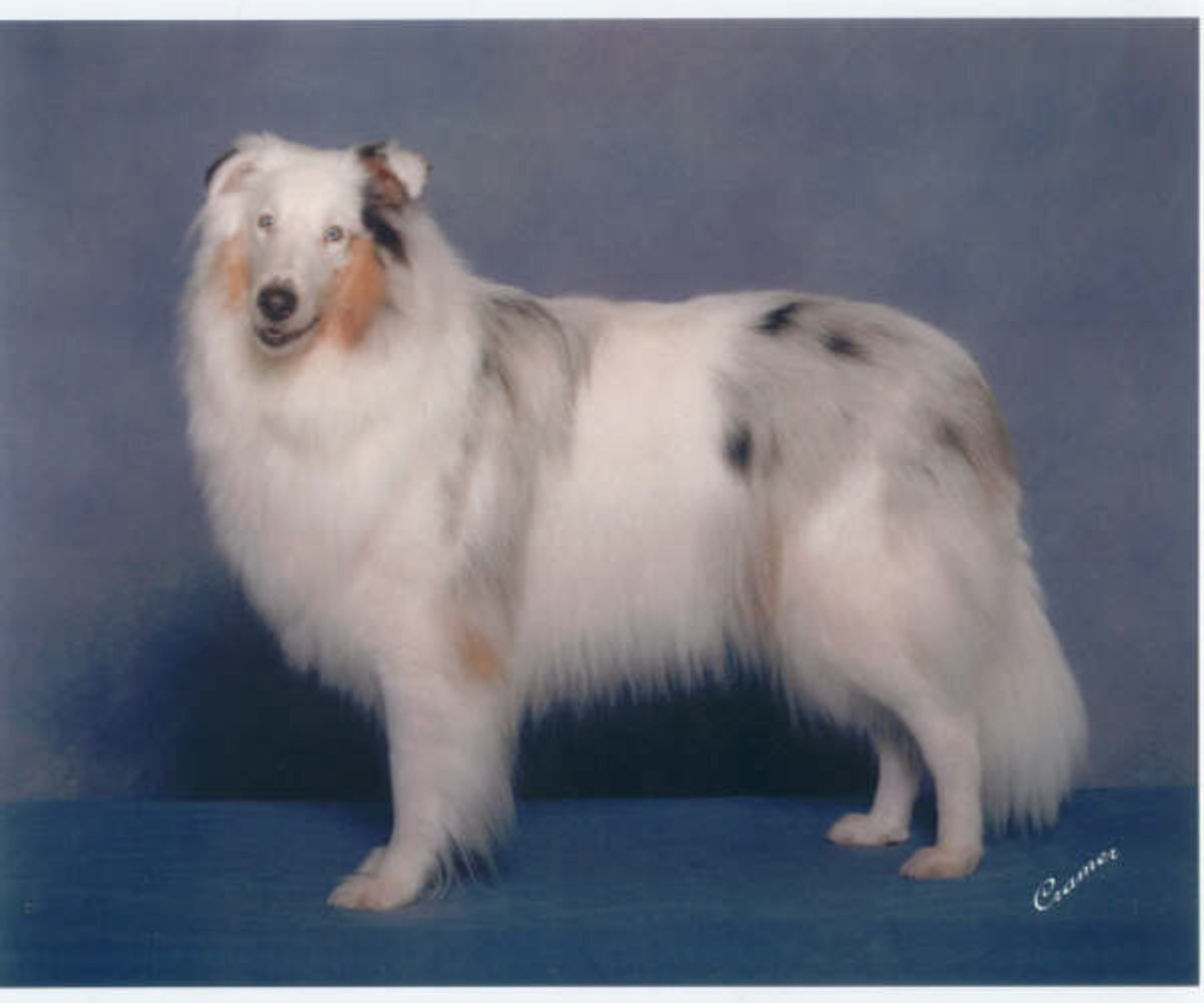 Double merle collie with perfect sight, but deaf in one ear. (Trailblazer's North Star: Pepper)