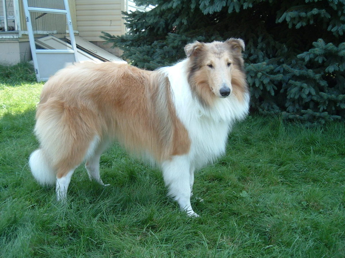 Sable merle collie, with hardly visible merle markings!  (Trailblazer's Heart of Gold: Isaac)