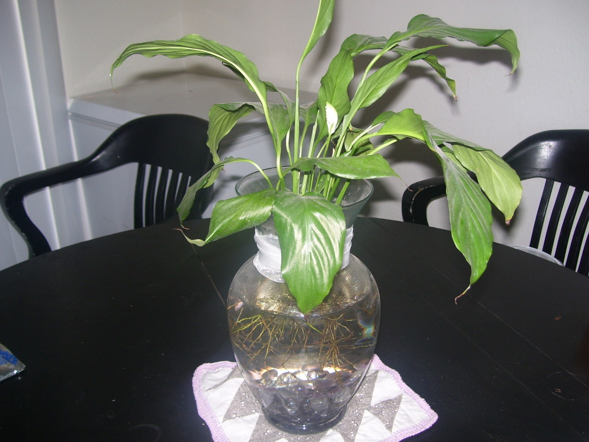 Creating A Beautiful Betta Fish Vase With A Plant Hubpages