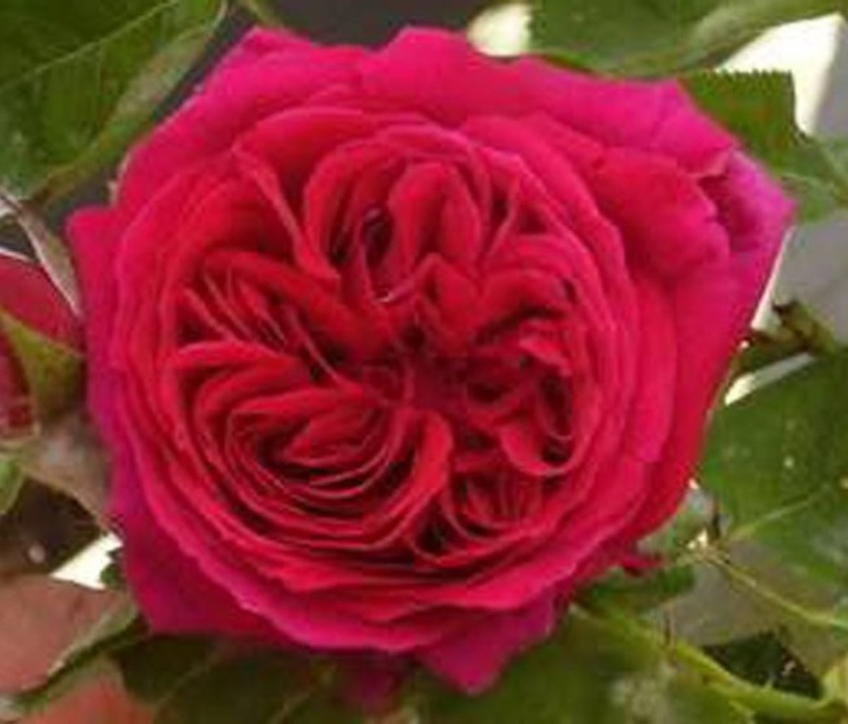 George Washington Rose.
