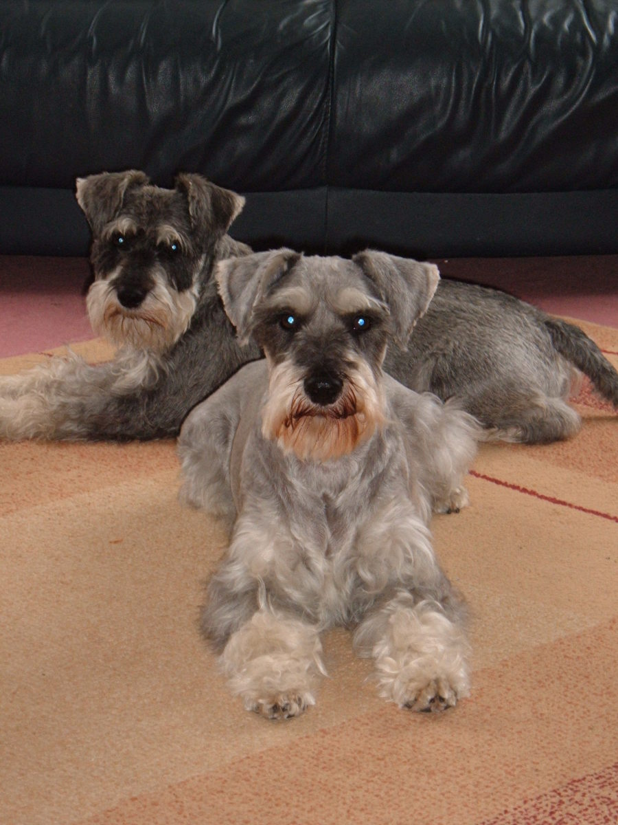 Tips And Advice On Owning A Miniature Schnauzer Hubpages