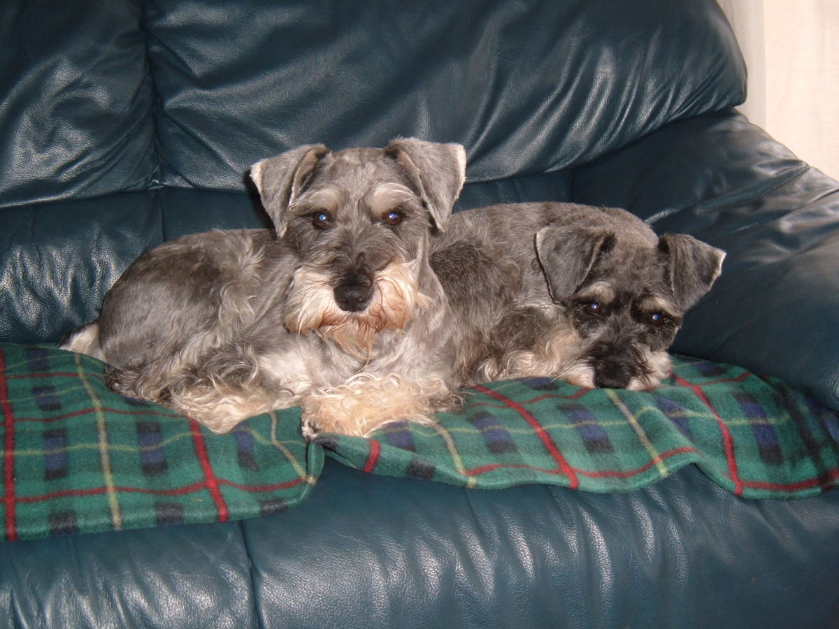 Tips and advice on owning a miniature schnauzer