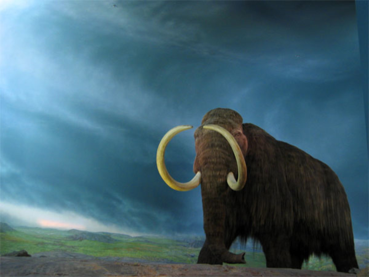 The Wooly Mammoth has been extinct since 1,700 B.C. but its genetic copies may one day live again, if cloning works.