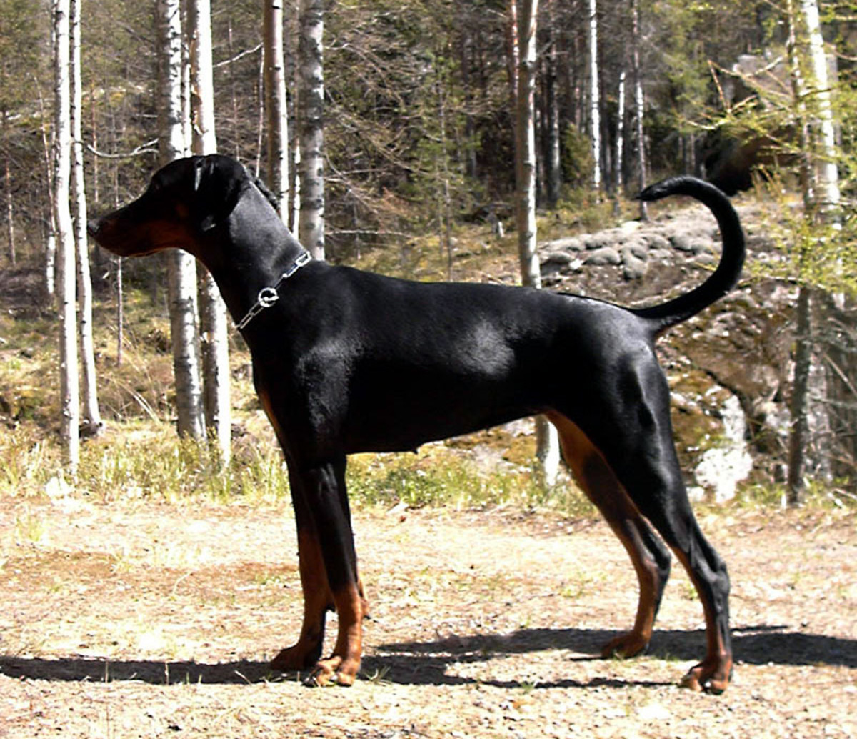 This first photo is of a natural Doberman Pinscher, sometimes considered unrecognizable because of its drastically different overall shape.