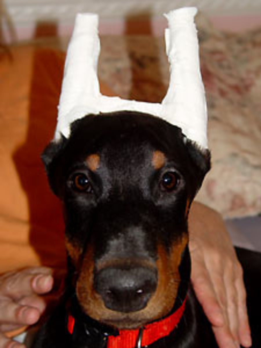This Doberman Pinscher puppy has his freshly cropped ears taped to ensure they will stay upright.