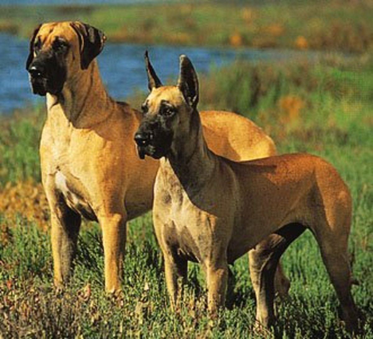 Great Danes.  The one on the left has natural ears, and the one on the right has cropped ears.  (Photo by Ron Kimball)
