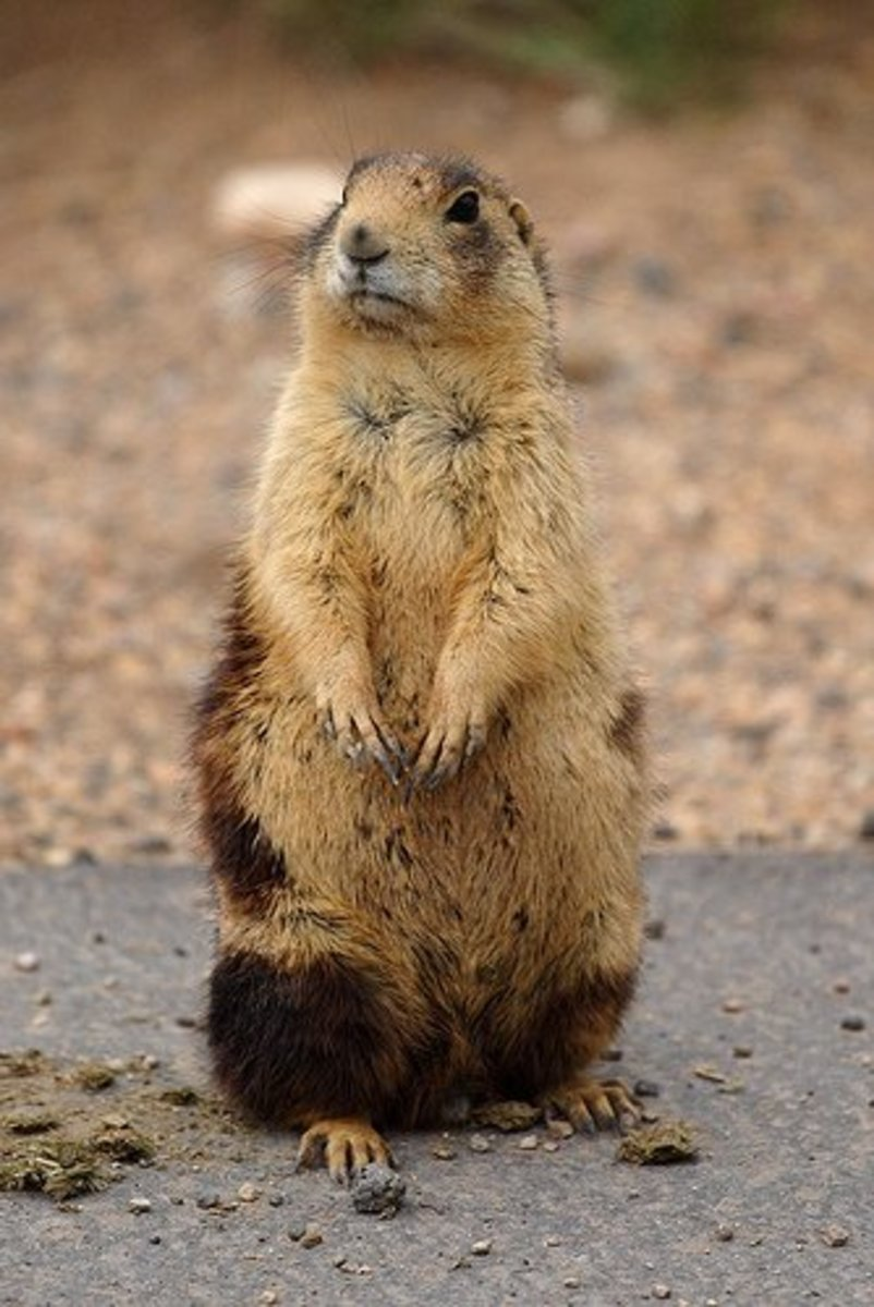 Prairie Dogs: Keystone Species of the Plains