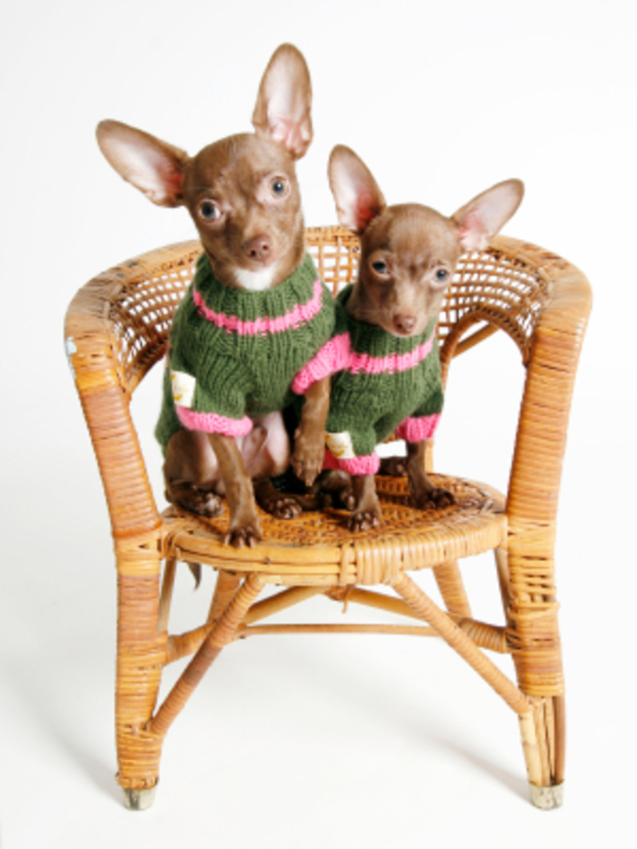 Has anyone ever bought a Chihuahua from (www.bellachis.com) ?