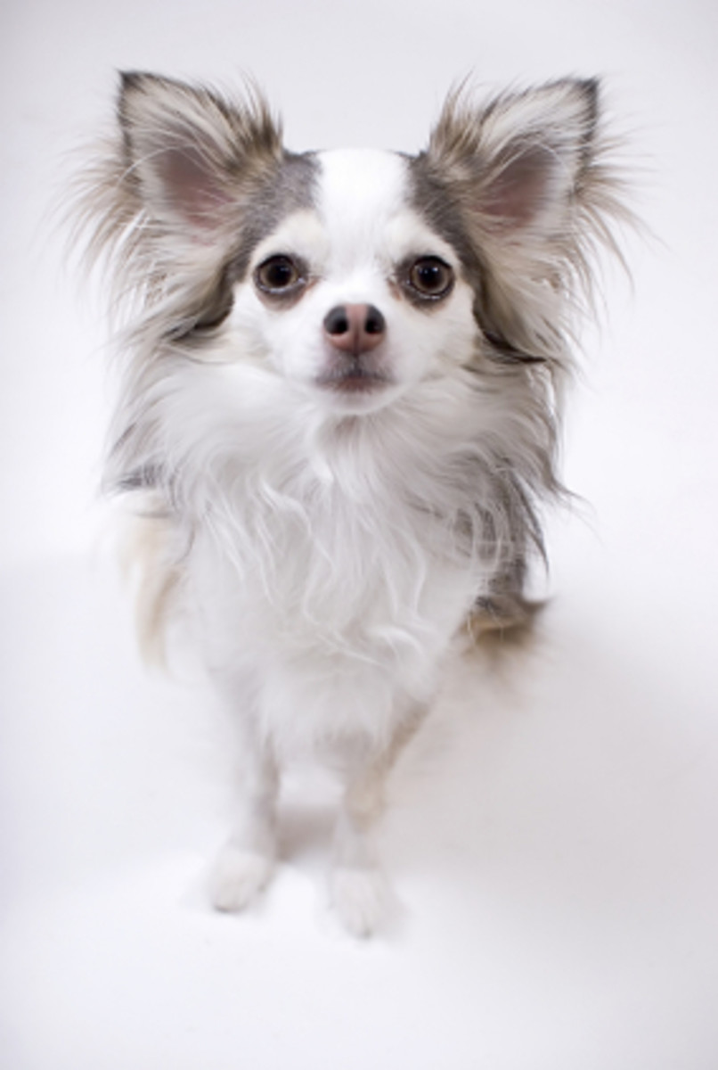 chihuahua-colors-what-are-my-choices