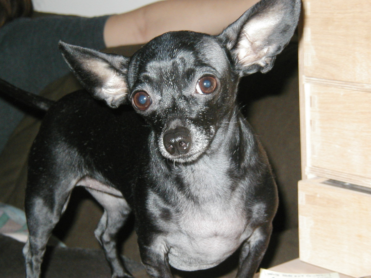 Chihuahua colors: what are my choices?