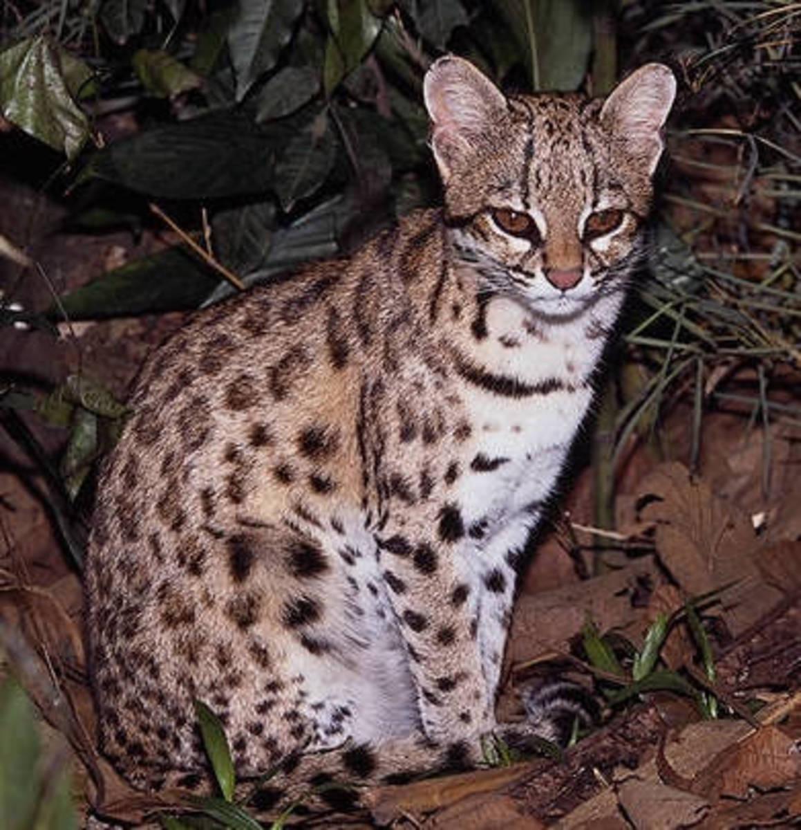 Tigerella in the rainforest