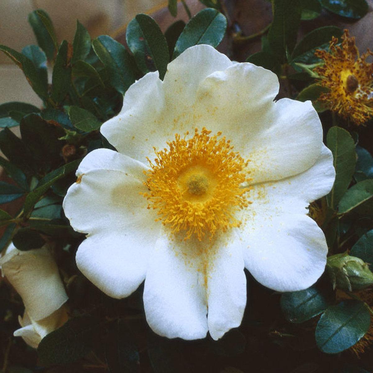 Close-up of Cherokee Rose