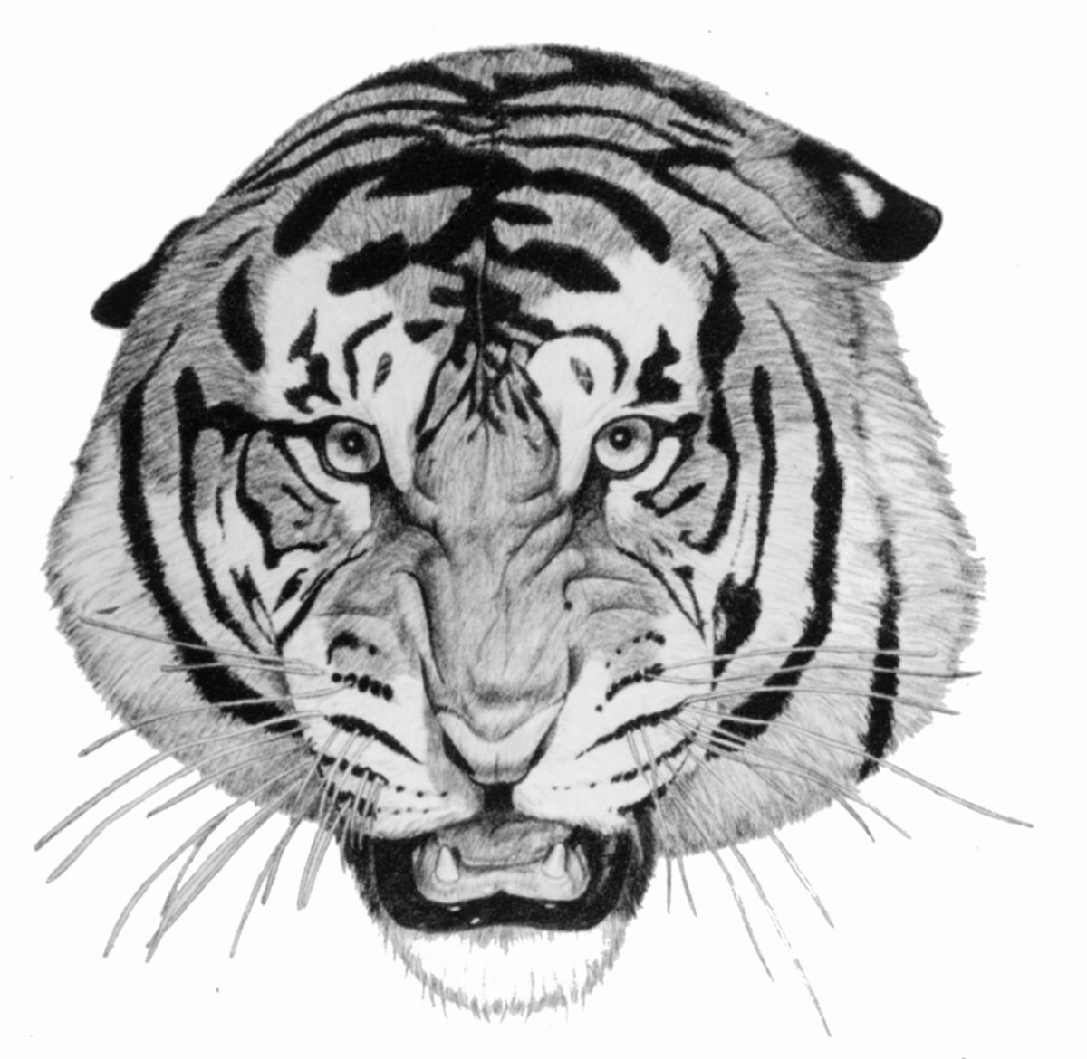 Tiger Head   Pencil rendering 11x14 inches  Limited edition of 140 prints  $15 each  Pencil rendering 11x14 inches  Limited edition of 140 prints  $15 each