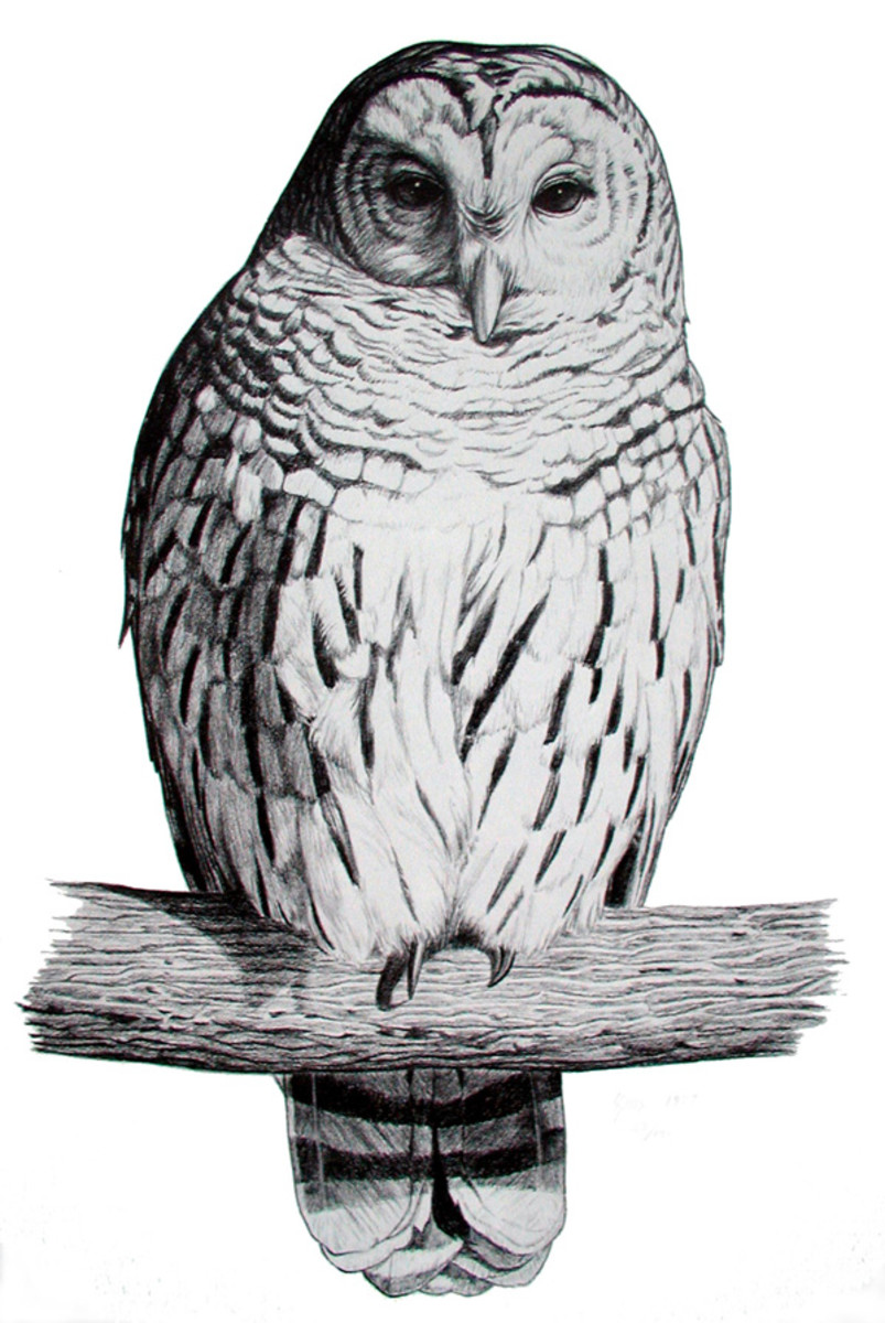 Barred Owl  Pencil rendering 16x20 inches  Limited edition of 140 prints  $20 each