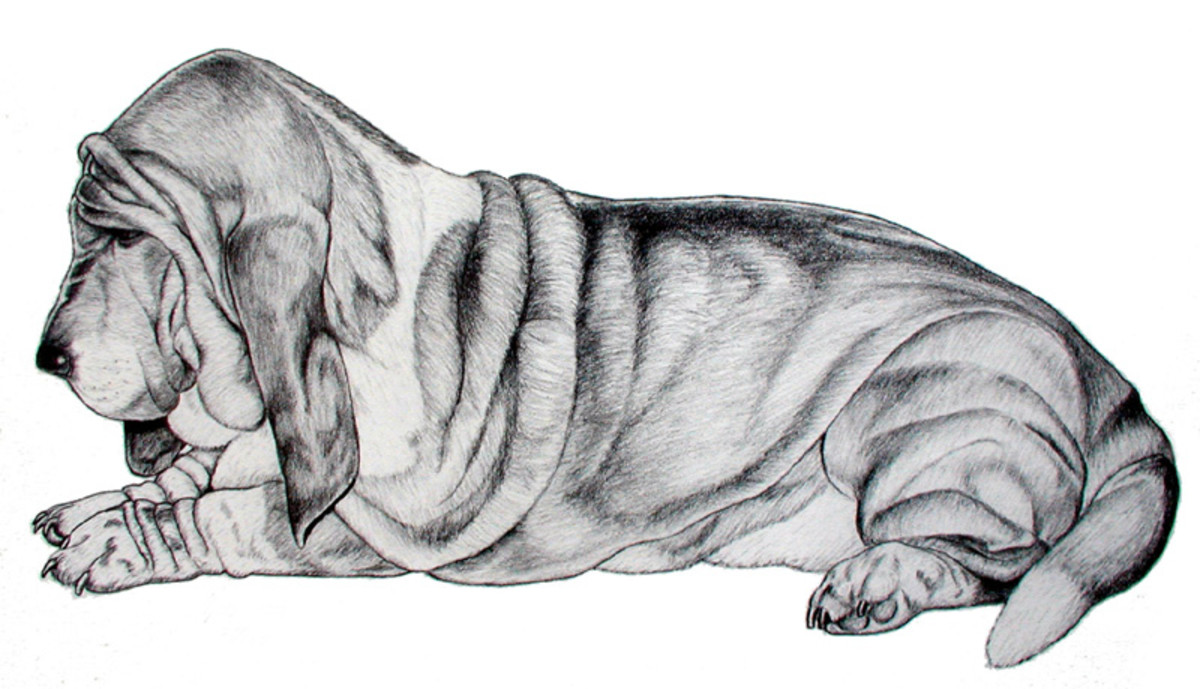 Basset Laying   Pencil rendering 11x14 inches  Limited edition of 125 prints  $15 each
