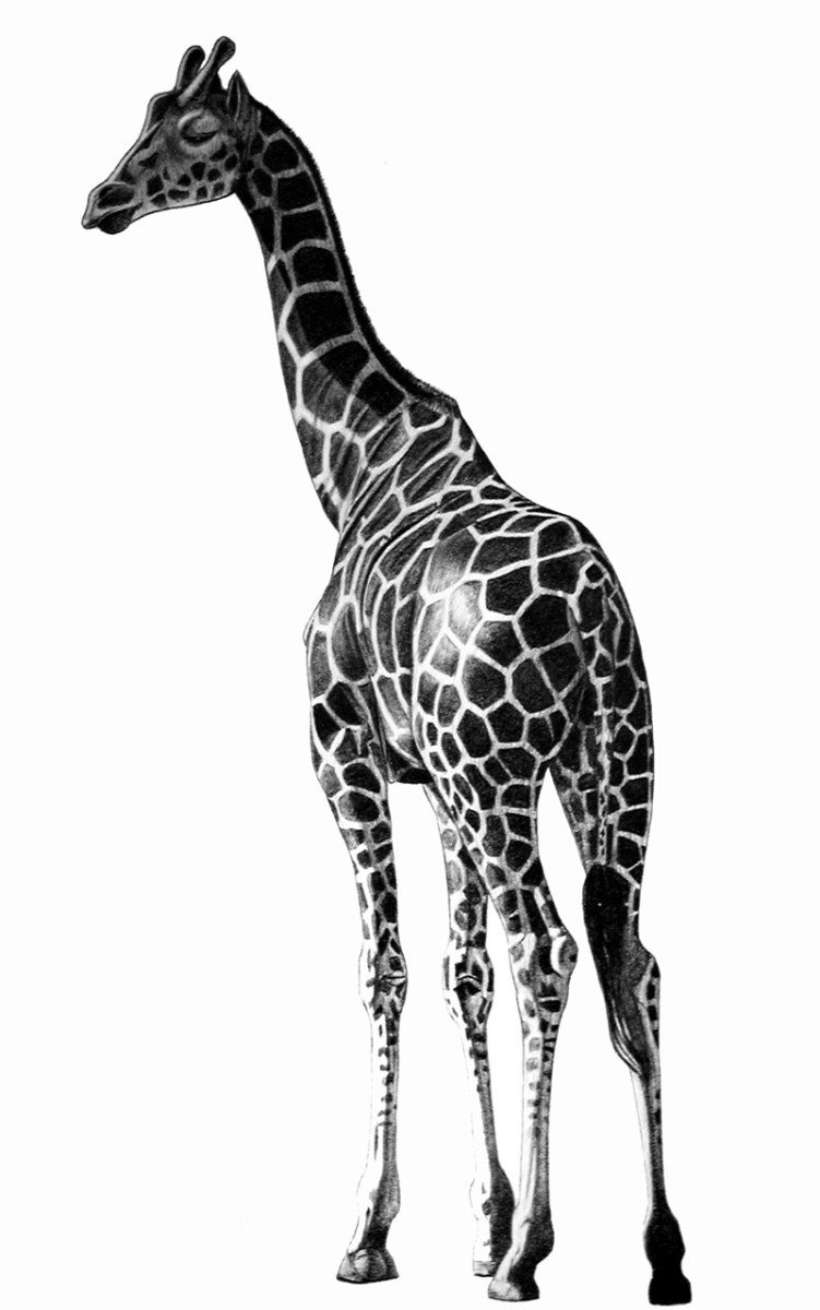 Giraffe  Pencil rendering 16x20 inches  Limited edition of 140 prints  $20 each