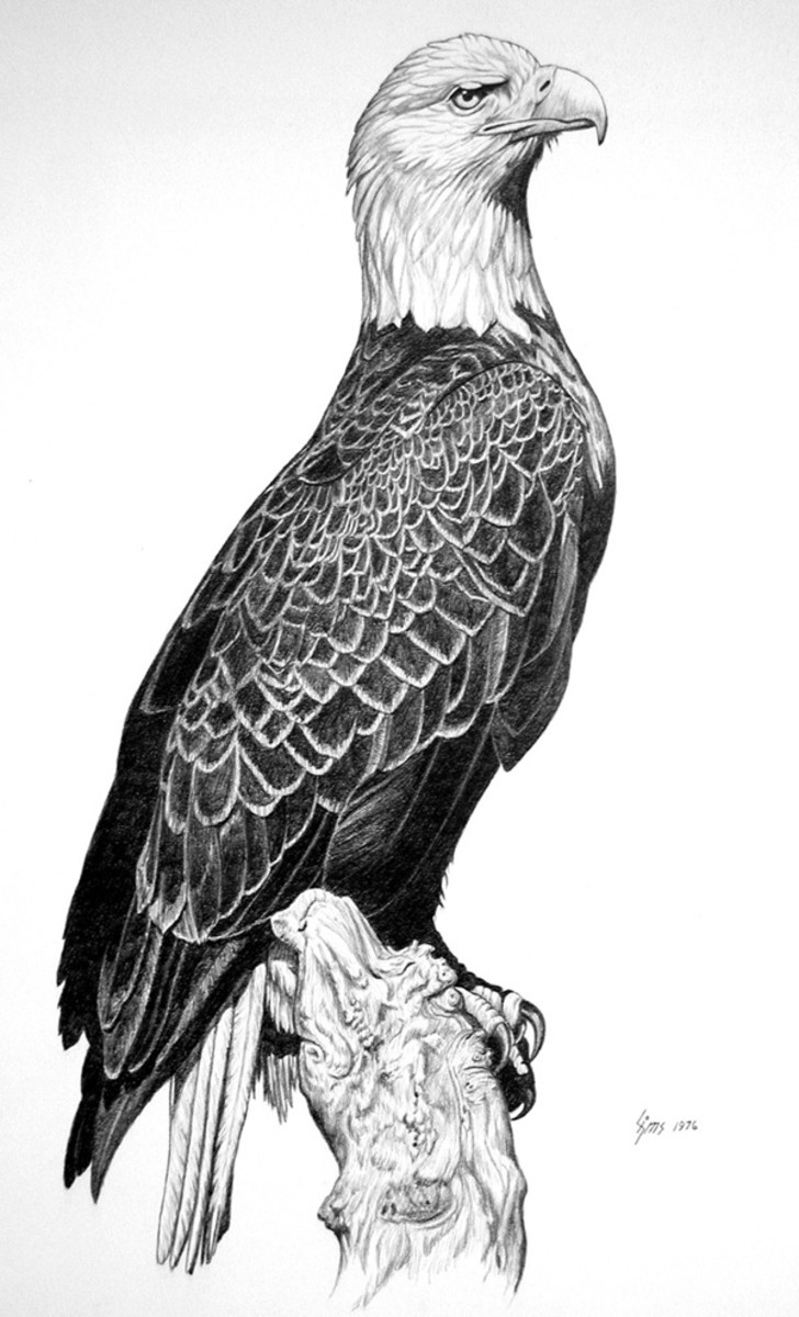 Eagle  Pencil rendering 16x20 inches  Limited edition of 140 prints  $20 each