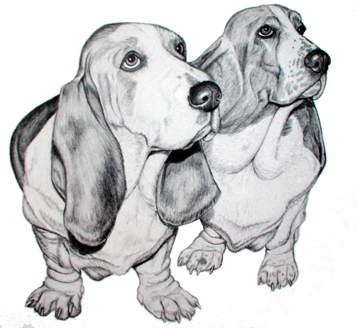 Two Bassets   Pencil rendering 11x14 inches  Limited edition of 125 prints  $15 each