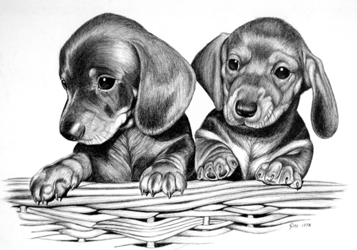 Dachshund Puppies  Pencil rendering 16x20 inches  Limited edition of 300 prints  $20 each