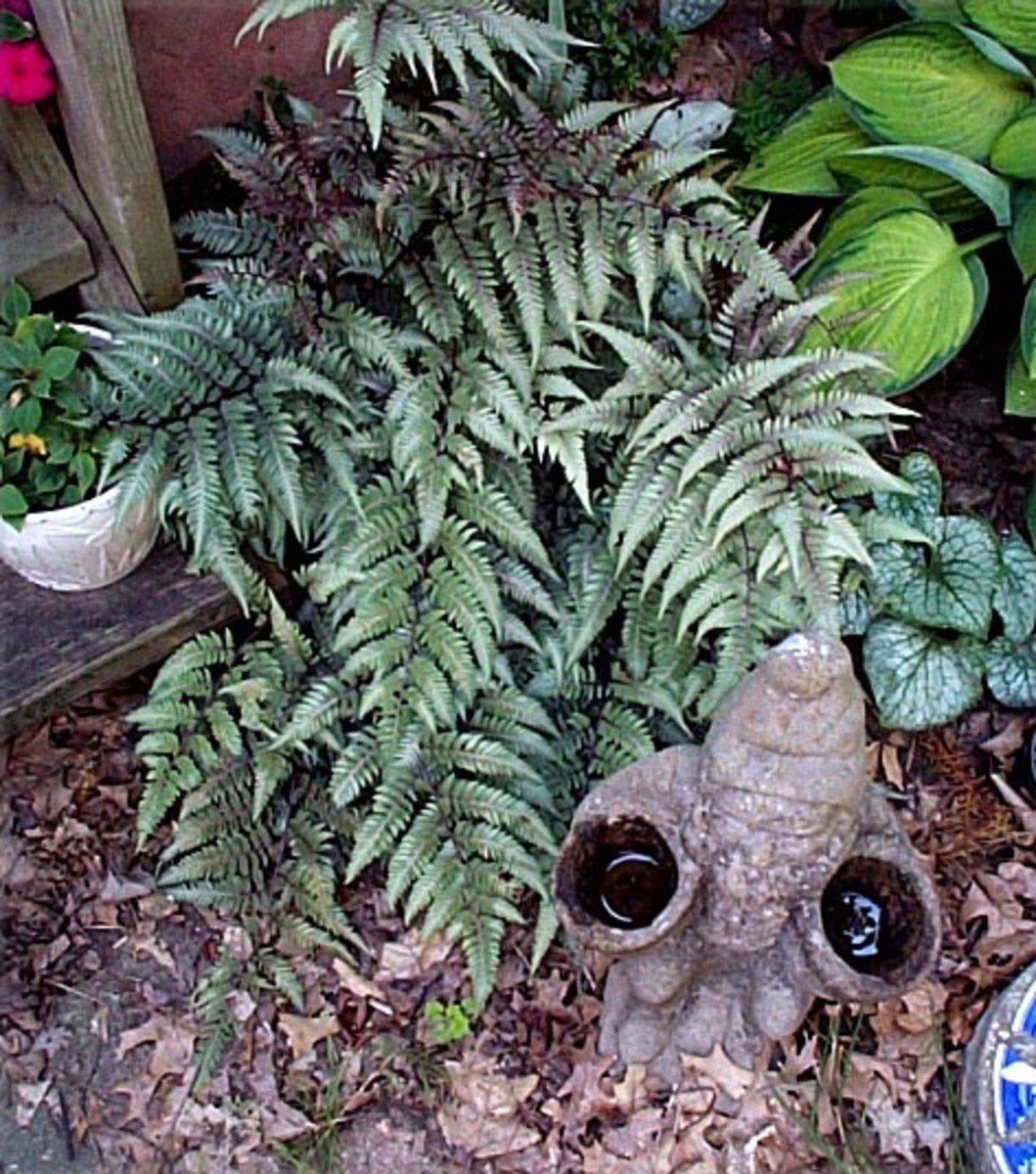 Japanese Painted Fern - Loves moisture and shade