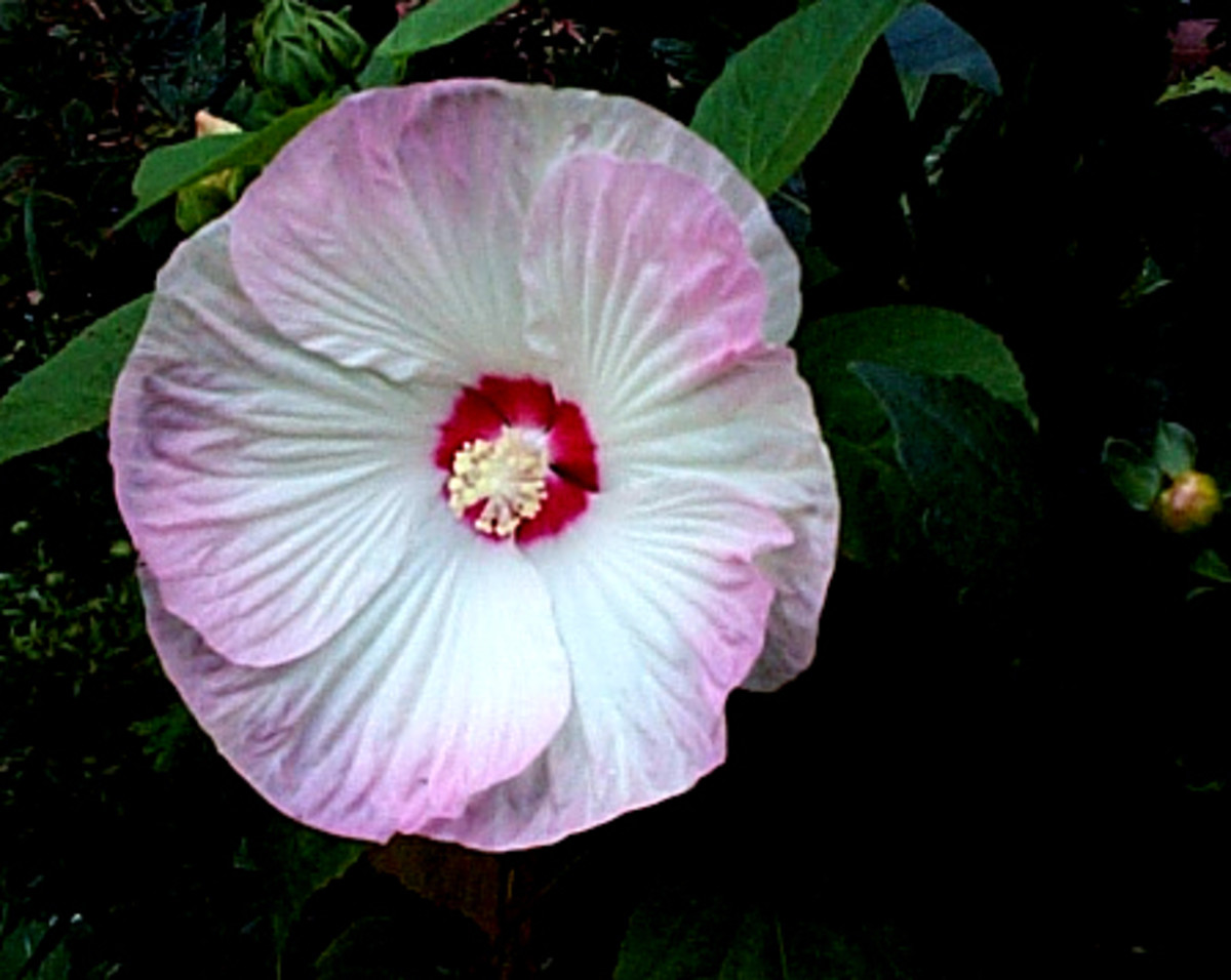Hardy Hibiscus survived zone 5, has enormous blooms and loves wet feet!