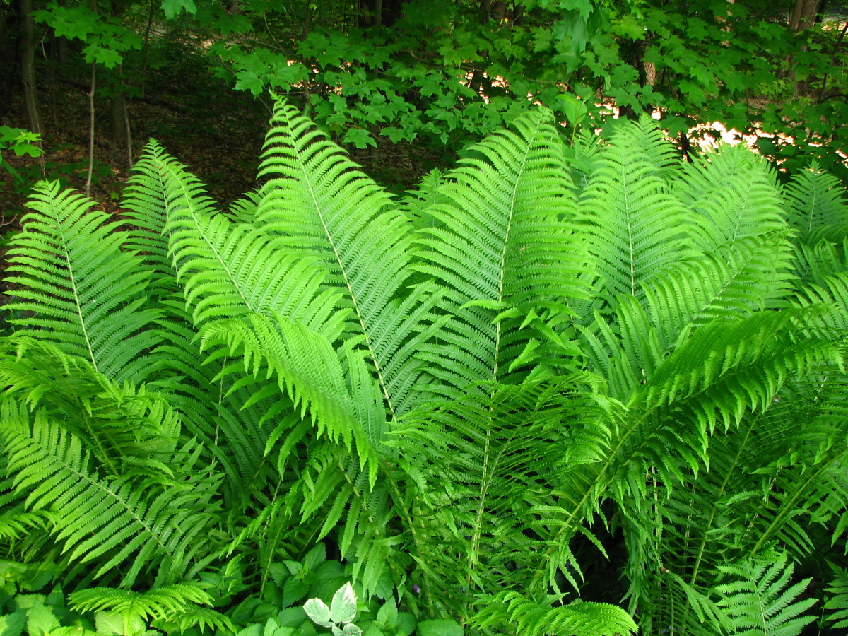 Ferns love damp soil - this is a cinnaomon stick fern.