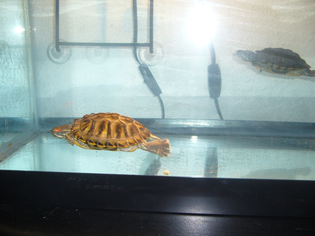 caring-for-water-turtles