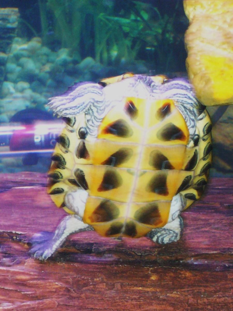 Headless Turtle!