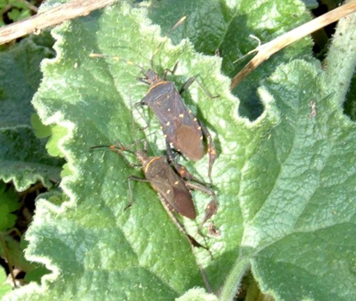 Leaf-legged Bugs