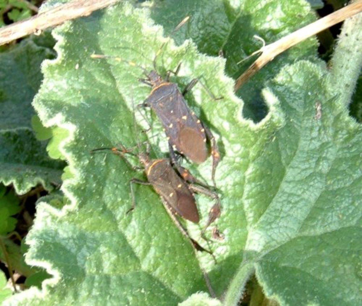 Leaf-legged Bugs