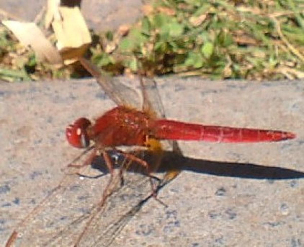 Scarlet Darter male