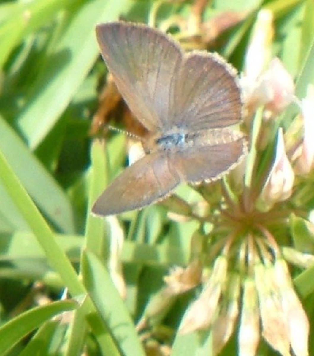 African Grass Blue on clover